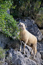 Sheep on the rocks grazing in wild Royalty Free Stock Image