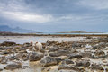 Sheep between the rocks during a lowtide in northern norway horizontal shot Stock Images