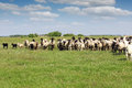 Sheep running on field herd of Royalty Free Stock Photos