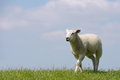 Sheep running white on meadow Royalty Free Stock Images