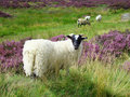 Sheep (Scottish highlands) Stock Photos