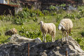 Sheep a setting over a rock Royalty Free Stock Photo