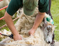 Sheep shearing Stock Photography