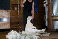 Sheep Shearing - New Zealand Royalty Free Stock Photo