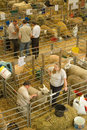 Sheep shed at the royal welsh show being prepared for judging Stock Photos