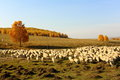 The sheep and the shepherd mongolia steppe china Stock Photography
