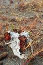 Sheep skull Royalty Free Stock Photo