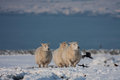 Sheep in snow Stock Photo