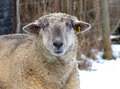 Sheep in the snow and forest in background Royalty Free Stock Photography
