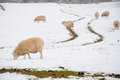 Sheep in snow grazing a snowy landscape Royalty Free Stock Photo
