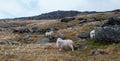 Sheep on snowdon in snowdonia in autumn Stock Image