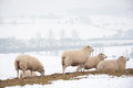 Sheep on snowy hilltop grazing in a landscape Stock Photo