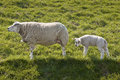 Sheep in spring Royalty Free Stock Images