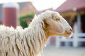 Sheep standing. Royalty Free Stock Photo