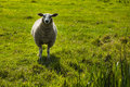 A sheep standing in the grass Royalty Free Stock Photo