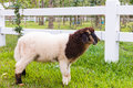 Sheep standing on the grass, white picket fence and nature backg Royalty Free Stock Photo