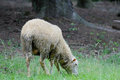 Sheep standing in green field Royalty Free Stock Photo