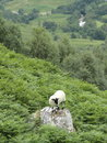 Sheep standing on mountain rock with green vegetation all around Royalty Free Stock Photography