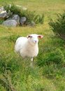 Sheep in Summer pasture Royalty Free Stock Image
