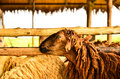 Sheep with tag in farm west of thailand Royalty Free Stock Photos