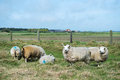 Sheep at texel island dutch wadden Stock Image