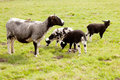 Sheep and three lambs in meadow standing gazing Stock Photo