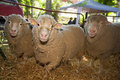 Sheep three at livestock exhibition Royalty Free Stock Images