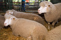 Sheep three at livestock exhibition Royalty Free Stock Photography