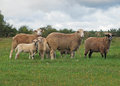 Sheep on to the meadow and lambs Stock Photo