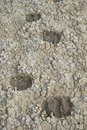 Sheep tracks Royalty Free Stock Photo