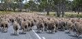 Sheep Traffic in Tasmania Royalty Free Stock Photo
