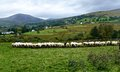 Sheep at the troughs Stock Photo