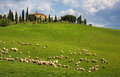 Sheep in Tuscany Stock Image