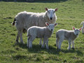 Sheep with two lambs Stock Photography