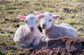 Sheep two lambs lying on the floor Stock Photography