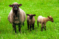 Sheep with two lambs on the meadow Stock Images