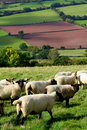 Sheep in Wales Stock Photography