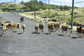 Sheep walking freely on the road rodrigues island image of a flock of and taking whole width of it mauritius Stock Photos