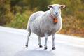 Sheep walking on road Stock Photography