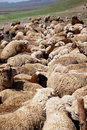 Sheep Watering Stock Photography