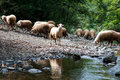 Sheep at watering Royalty Free Stock Photography