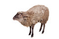 Sheep on the white funny isolated background Stock Photos