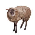 Sheep on the white funny isolated background Royalty Free Stock Image