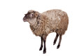 Sheep on the white funny isolated background Stock Image