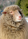 Sheep young in winter day Royalty Free Stock Images