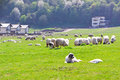 Sheepdog laying near sheeps on field flock of the meadow at sunny day Stock Photo