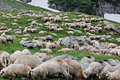 Sheeps Photos libres de droits