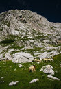 Sheeps in alps Stock Images
