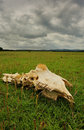 Sheeps bleached skull (Ovis aries) Royalty Free Stock Photography
