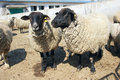 Sheeps the close up of two with black head and all fours Stock Photo